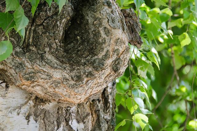 Sylveco kosmetyki z betuliną