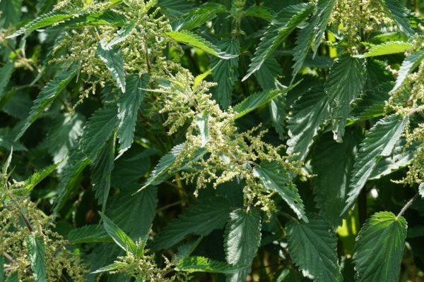 macerat z nasion pokrzywy